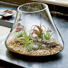 Air plants (tillandsia) in atrium terrarium