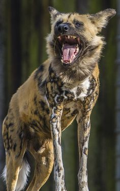 African Wild Dog, or Painted Dog.