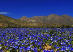 In Images: Stunning Flower Fields of the Atacama Desert. Photo credit: Tomás Cuadra Ordenes