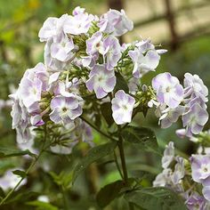 Phlox: Beloved by gardeners, bees, and butterflies, phlox adds showy flowers starting in early summer and continuing through the season. Many are also wonderfully fragrant, especially on warm, humid evenings. The scent can fill the yard -- or the house if you cut the flowers and bring them inside