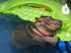 Baby hippo Fiona during nappy time http://ift.tt/2oZSIOx