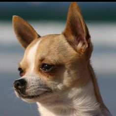 Chihuahua:)