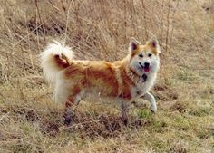 #11 - Icelandic Sheepdog Average Weight: 25 pounds Energy Level: Moderate Health Concerns: Retinal Dysplasia  The Icelandic Sheepdog is friendly and moderately easy to train.