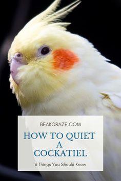 """"" Cockatiels Can Get Loud At Times – This Might Help! – Beak Craze """" Cockatiels Can Get Loud At Times – This Might Help! Cockatiel Care, Parakeet Care, Diy Cockatiel Toys, Parrot Quotes, Diy Bird Toys, Budgies, Parrots, Aquarium Air Pump, Bird Cages"