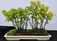 カエデ盆栽(かえで)