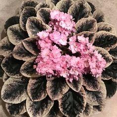 Cajun's Freckleface Kid (10582) 01/11/2013 (B. Thibodeaux) Semidouble-double pink frilled pansy/variable raspberry speckled edge. Variegated dark green, cream and pink, plain, heart-shaped. Standard (DAVS 1774) #cajunsfrecklefacedkid #cajunsviolets #AVSA #africanviolet #indoorplant #houseplant #saintpaulia #senpolia #africanvioletlovers #fialka #africanvioletsocietyofamerica #flowers #bloom #fialki