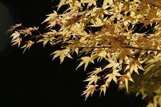 If you're looking for a handsome tree that looks good in every season and doesn't take up a lot of room, you can't go wrong with a Japanese maple.