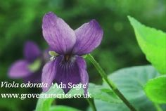 Viola odorata 'Ada Segre'