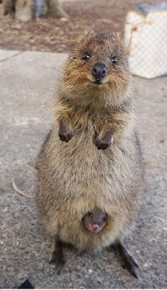 Quokka and her baby. Quokkas are about the size of a cat and marsupials like kangaroos and wallabies. They are generally nocturnal and native to Australia. They primarily eat plants.