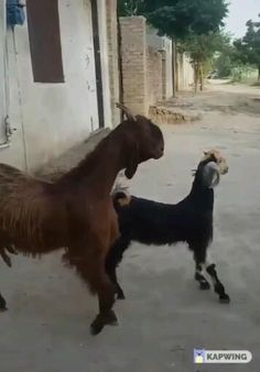 Let's dance 🐐🐐 Let's dance 🐐🐐,Cute Animal Videos Funny goats video Animal Antics, Animal Jokes, Funny Animal Memes, Cute Funny Animals, Funny Animal Pictures, Cute Baby Animals, Funny Cute, Animals And Pets, Hilarious