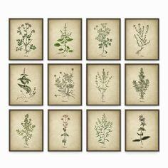 Küche-Kräuter-Wand-Kunstdruck-Set 12 - Jahrgang botanische Herb Prints - Kraut Küche Decor Illustrationen - Bild setzen von zwölf (AB243)
