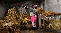 Africa | Tobacco being sorted for auction on the Mutua Farm in Centenary, central Zimbabwe | © Lynsey Addario for The New York Times