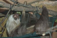 Fezzik, a two-toed sloth, at the Milwaukee County Zoo. PHOTO CREDIT: BOB WICKLAND