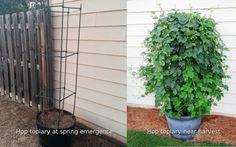 One of the better tutorials on growing hops at home.