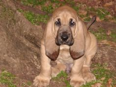 Cute Bloodhound Puppies | picture of a cute puppy_bloodhound dog.jpg
