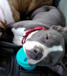 I'm in love!  Jaeda (short/pocket pittie) is an adoptable American Staffordshire Terrier Dog in Saint Paul, MN. Name: Jaeda  Nick Name(s): Miss Jaeda, mighty mouse, Lady, Jaeda-Roo  Age: 11 months (March)  Jaeda is...
