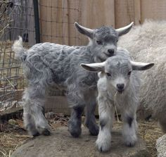 It only takes two baby goats for them to form a goat gang. Be careful around groups of goats, lest they headbutt you as part of a gangland ritual. Cute Baby Animals, Farm Animals, Animals And Pets, Mundo Animal, My Animal, Beautiful Creatures, Animals Beautiful, Cute Goats, Mini Goats