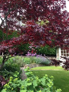 Acer with Alchemilla Mollis and Alliums in a garden by Goose Green Design