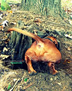 Dachshunds.  Natural born diggers! Thank goodness that groundhog decided to move to another yard in the neighborhood!