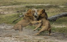 Brawl of the wild: Two male lions rear up on their hind legs as they fight it out for supremacy and mating rights