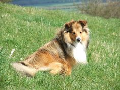 shetland sheepdog photo | Recent Photos The Commons Getty Collection Galleries World Map App ... Silly Photos, Dog Photos, Search And Rescue Dogs, Group Of Dogs, Companion Dog, Guide Dog, Shetland Sheepdog, Australian Cattle Dog, Sheltie
