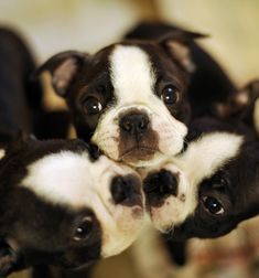 SQUEEEEEEZE - Boston Terrier Puppies, so cute! Check more at http://blog.blackboxs.ru/category/dogs/