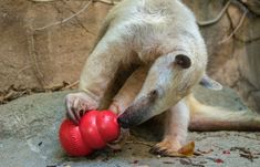 On Tuesday afternoon the Sacramento Zoo lost a golden resident, Izzy, a southern tamandua. Read the zoo news blog to learn more.