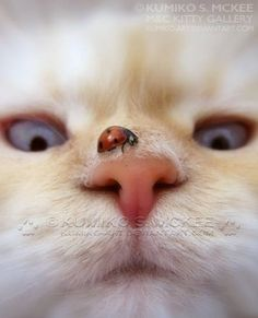 Cat With Ladybird On It's Nose