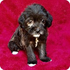 Los Angeles, CA - Maltese/Yorkie, Yorkshire Terrier Mix. Meet Morkiepoo, a puppy for adoption. http://www.adoptapet.com/pet/17759040-los-angeles-california-maltese-mix