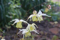 Epimedium 'Flowers of Sulphur' – Ballyrobert Gardens