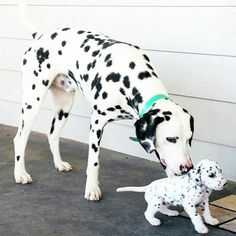 Dalmatian dam and her puppy.  (The missing pigment on their noses will be painful sunburns someday!  <:(  )