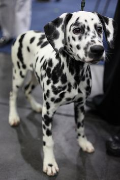 Gorgeous Dalmatian pup. Don't see them very often. My friend had a dalmaian, he was beautiful His name was Chopian