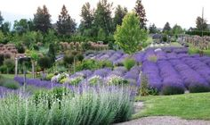 Vernon, BC. Lavender Farm