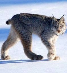 Canadien Lynx. Look at those paws!!