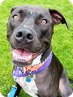 Detroit, MI - American Staffordshire Terrier/American Pit Bull Terrier Mix. Meet Ace (aka Kuzko), a dog for adoption. http://www.adoptapet.com/pet/6409464-detroit-michigan-american-staffordshire-terrier-mix