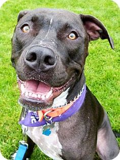 Detroit, MI - American Staffordshire Terrier/American Pit Bull Terrier Mix. Meet Ace (aka Kuzko), a dog for adoption. http://www.adoptapet.com/pet/6409464-detroit-michigan-american-staffordshire-terrier-mix