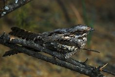 european nightjar | European nightjar