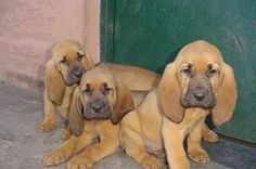 baby bloodhounds... ahhhhh