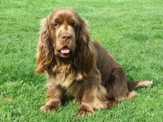 Compared to other spaniels, the Sussex Spaniel is quite relaxed and sedate. Around the house, it is likely to hang out, lumber from room to room and maybe bark a little. Friendly and open, the Sussex loves everybody and everybody loves it right back. This dog is a devoted and loyal friend for life. The Sussex Spaniel is an especially good companion to children.