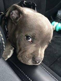 little rascal #pitbull