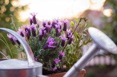 Cómo cuidar la lavanda: casa, invierno y maceta. ¿Quieres cultivar lavanda en casa y no sabes qué cuidados requiere? Esta planta aromática es muy fácil de mantener y, además de su intenso y característico olor, ofrece un sinfín de propiedades benefi...