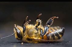 Follow the Honey: 7 Ways Pesticide Companies Are Spinning the Bee Crisis....... Poor little bee.....:-(((((. I won't buy flowers with neonicotinoids.