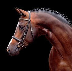 Trakehner Prämienhengst Saint Cyr v. Beautiful Horse Pictures, Most Beautiful Horses, All The Pretty Horses, George Morris, Cute Horses, Horse Love, Horse Saddles, Western Saddles, Horse Anatomy