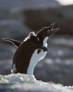 Adelie penguin by Ken Petch, via Flickr