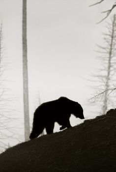 Wild, Bears Silhouettes, Nature, Black Bears, Beautiful, National Parks, Black White Photography Bears, Grizzly Bears, Animal