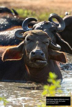 Wild Water Buffalo (Bubalus arnee)   Flickr - Photo Sharing!