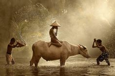 "Good Morning! ""Water Buffalo"" Photo by Vichaya Pop"