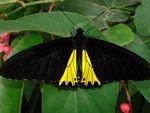 Birdwing, Common  Troides helena