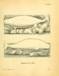 plates 281-385 - Die Säugthiere in Abbildungen nach der Natur / - Biodiversity Heritage Library
