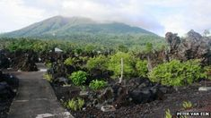 Gamalama volcano, home of the world's oldest clove tree.